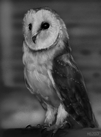 Barn owl by MariaGulland