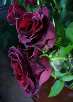 Rose Stock 4 by Melyssah6-Stock