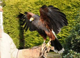 Harris Hawk Stock 5 by LRG-Photography