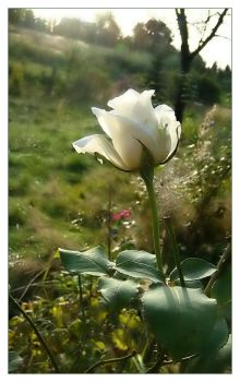 the last white rose ... by grandma-S