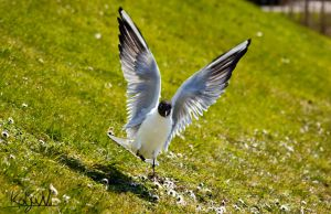 Black-headed gull by KoljaNa