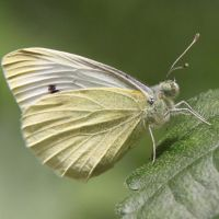 Cabbage Butterfly by smolensk65