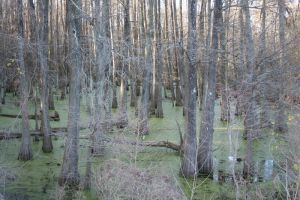 Swampy Cypress 10 by goodiebagstock
