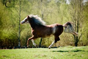 Welsh Pony by Colourize