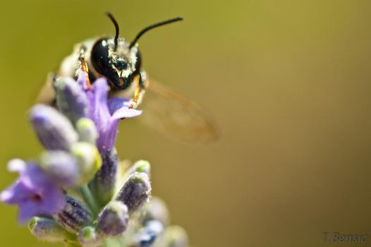 wasp on lavender 1 by tbensic