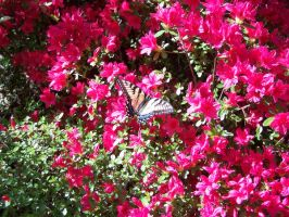 Azaleas and Butterfly 2 by seiyastock
