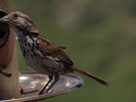 Song Sparrow 2 by photographyflower