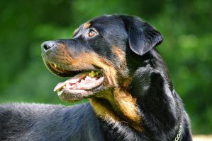 Beautiful Rottweiler by KirstenLindeboom