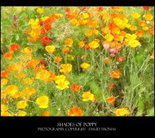 Shades of Poppy by bloobirds