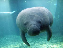 Mr. Manatee by PotatoBeenz