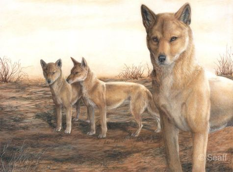 Dingos by Seaff
