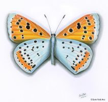 Another new butterfly, blue and orange by EerinVink