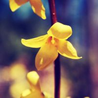 Forsythia by incolor16