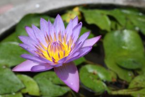 water lilly 1090 by fa-stock