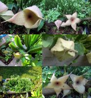 Stapelia gigantea, the Carrion Flower by ValkyrieOfODIN