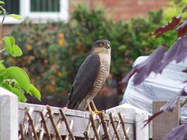 Sparrowhawk Visitor by Storm-The-Bird