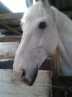 Horse Stock- Grey Cob by emmys-stock