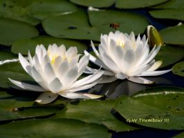 Pond Lillies by natureguy