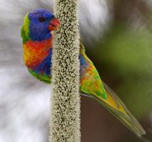 Rainbow Lorikeet #1 by Simon-Hunt