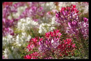 Purple, red and white by Ildefonse