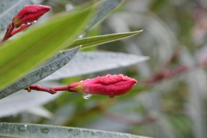 Drops on flower orleander of 10/11/2014 by A1Z2E3R