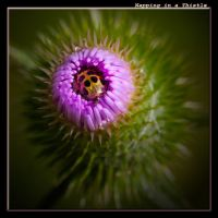 Napping in a Thistle by boron