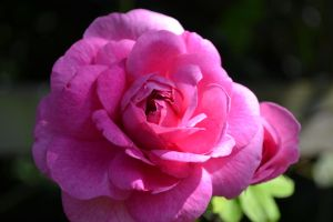 Pink Rose by Just-the-way-Im-not