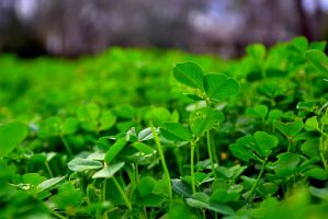 Clovers? by Chris2059