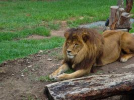 Sitting lion by Ariel1707