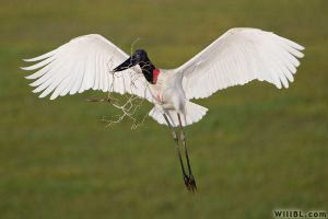 Jabiru Stork by willbl