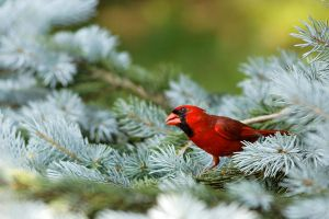 Northern Cardinal 02 by Jay-Co