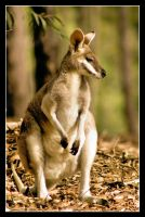 Wallaby by 2Stupid2Duck