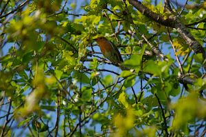Robin amongst branches of tree by LubelleCreativeSpark