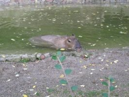 Capybara by WonderfulNature