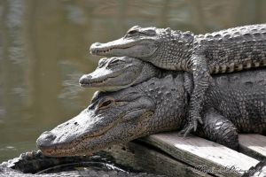 Gator Stack by RaylenesPhotography