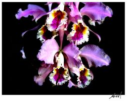 Orchid 11 by AmoMiMarmota