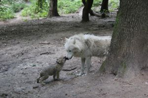 Wolf and wolf pup by fion-fon-tier