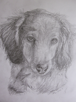 Longhaired Daschund portrait by 0glOk