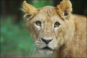 Lioness by Electrokopf
