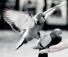 Pigeon impact by jericho1405