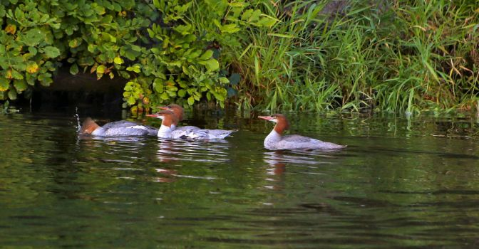 Rogue River Common Mergansers by Caloxort