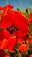 Field Poppies by Maltese-Naturalist