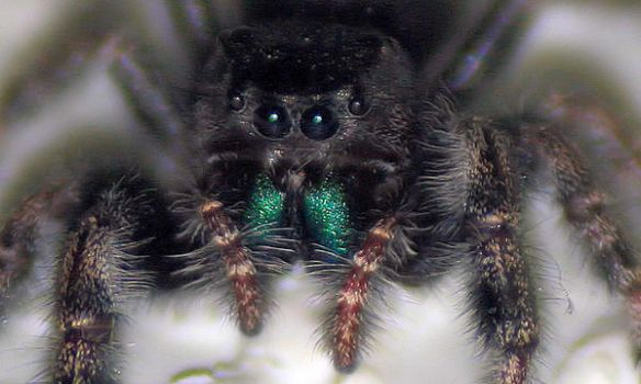 Daring Jumping Spider by emily0690