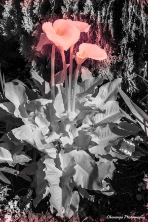 Infrared Canna Lily Colour Splash by Okavanga