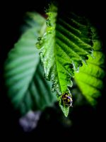 Coccinellidae by HellinS