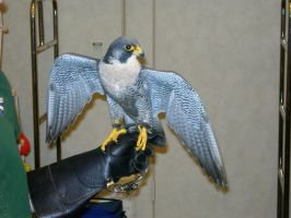 Peregrine Wings Spread I by mmad-sscientist