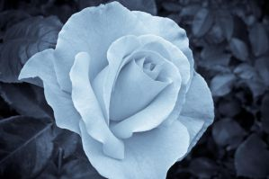 Blue Rose by drr104