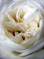 .white.rose. by witchlady750