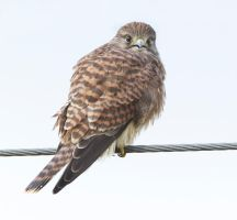 What ???? - Common Kestrel by Jamie-MacArthur