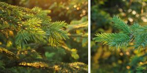 Sunset spruce by rosaarvensis